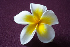 新鲜的赤素馨花 库存照片