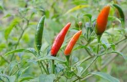 新鲜的辣椒树在菜园里 库存照片