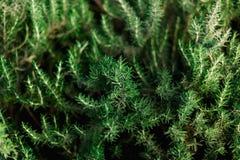 新鲜的迷迭香灌木在庭院里 绿色草本灌木增长室外 种植与阳光作用的背景,复制空间 库存照片