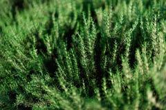 新鲜的迷迭香灌木在庭院里 绿色草本灌木增长室外 种植与阳光作用的背景,复制空间 免版税库存照片