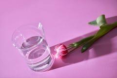 新鲜的郁金香和透明杯在桃红色背景的水与阴影和拷贝空间的样式 卡片 库存照片