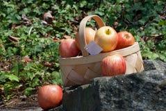 新鲜的采撷苹果篮子  库存图片