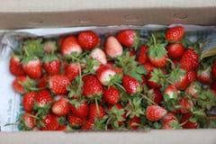 新鲜的采撷草莓 免版税图库摄影