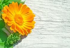 新鲜的金盏草officinalis橙色花在白色木背景的 万寿菊 喂res 库存照片