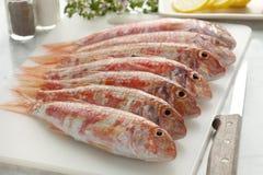 新鲜的镶边红鲻鱼 图库摄影