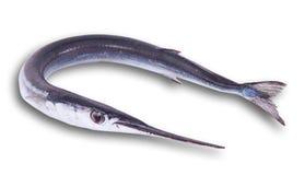 新鲜的长嘴硬鳞鱼在白色背景中 免版税图库摄影