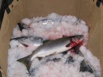 新鲜的阿拉斯加的三文鱼 免版税库存照片