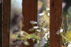 新鲜的雏菊 免版税图库摄影