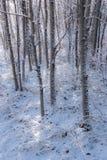 新鲜的雪在白杨木树树丛2里 免版税库存图片