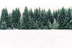 新鲜的雪盖的云杉的树森林在冬天圣诞节时间 库存图片