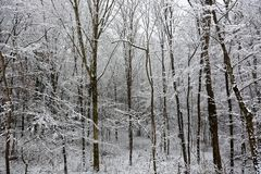 新鲜的雪盖的圣诞节森林 库存图片