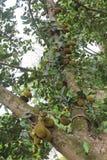 新鲜的面包果树开发与全部绿色果子 库存图片