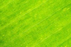 新鲜的香蕉叶子的特写镜头照片 免版税库存照片