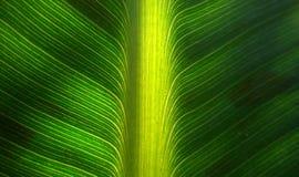 新鲜的香蕉叶子 库存照片