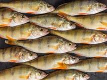 新鲜的鱼 新鲜的河鱼栖息处 在黑色背景 名列前茅v 免版税库存照片
