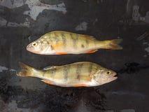 新鲜的鱼 新鲜的河鱼栖息处 在黑色背景 自由 库存照片
