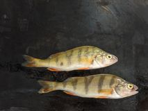 新鲜的鱼 新鲜的河鱼栖息处 在黑色背景 自由 免版税图库摄影