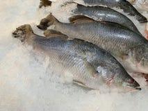 新鲜的鲈鱼在被捣的冰被安置了 免版税库存照片