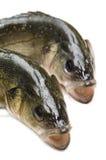 新鲜的鲈鱼 免版税库存照片