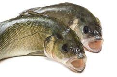 新鲜的鲈鱼 库存图片