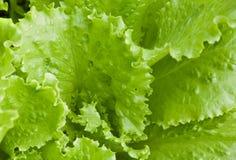 新鲜的鲜绿色的莴苣叶子 免版税库存图片