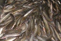新鲜的鲶鱼 免版税库存照片