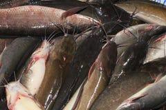 新鲜的鲶鱼 免版税库存图片