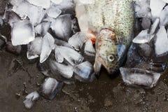 新鲜的鳟鱼 免版税库存图片