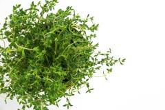 新鲜的麝香草草本在花瓶增长 库存图片