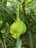 新鲜的黄夹竹桃属peruviana果子 图库摄影