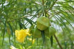 新鲜的黄夹竹桃属peruviana果子 免版税图库摄影