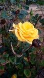 新鲜的黄色玫瑰在庭院里 图库摄影