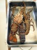新鲜的龙虾,新近地被捉住 免版税库存图片