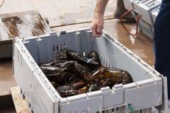 新鲜的龙虾 库存图片