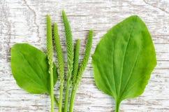 新鲜的更加伟大的大蕉蚤草留下并且钉牢在白色破旧的木背景的花 干燥标本集,草药和 免版税库存图片