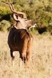 新鲜的-更加伟大的Kudu -非洲羚羊类弯角羚类 免版税库存图片