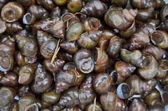 新鲜的黑河蜗牛特写镜头 免版税图库摄影