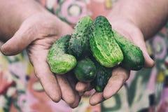 新鲜的黄瓜在一名年长妇女的手上 软绵绵地集中 库存照片