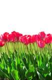 新鲜的洋红色郁金香 库存图片