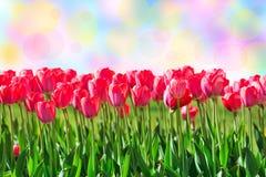 新鲜的洋红色郁金香 免版税库存照片