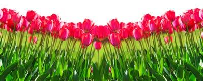 新鲜的洋红色郁金香 免版税图库摄影