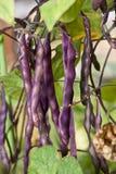 新鲜的紫罗兰色豆在庭院里 库存照片