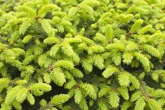 新鲜的绿色云杉射击 云杉的树年轻射击在春天 免版税库存图片