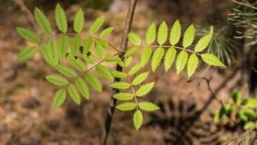 年轻新鲜的绿色叶子点燃了与太阳在森林 库存照片