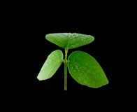 新鲜的绿色叶子 查出在黑色背景 免版税库存图片