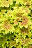 新鲜的黄色叶子 库存图片