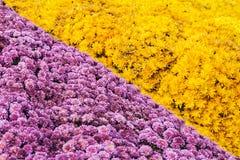 新鲜的黄色和桃红色菊花背景  免版税库存图片