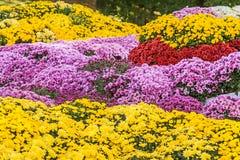 新鲜的黄色和桃红色菊花背景  免版税库存照片