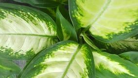 新鲜的绿色和白色叶子 免版税库存图片