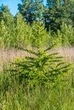 新鲜的绿色小落叶松属 库存照片